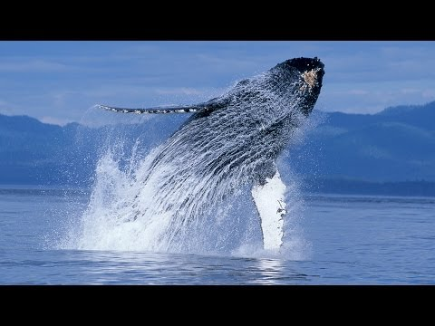 Humpback Whales - Narrated by Ewan McGregor - Official IMAX Trailer - 4K