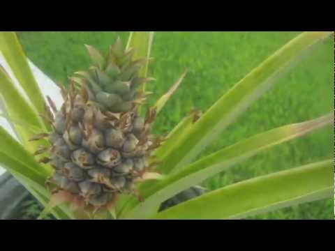 pineapple growing time lapse