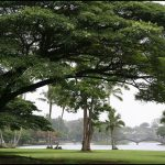 Banyan trees in Hilo, Hawaii. Photo credits: Leahleaf on Flickr