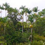Palm trees, Hilo