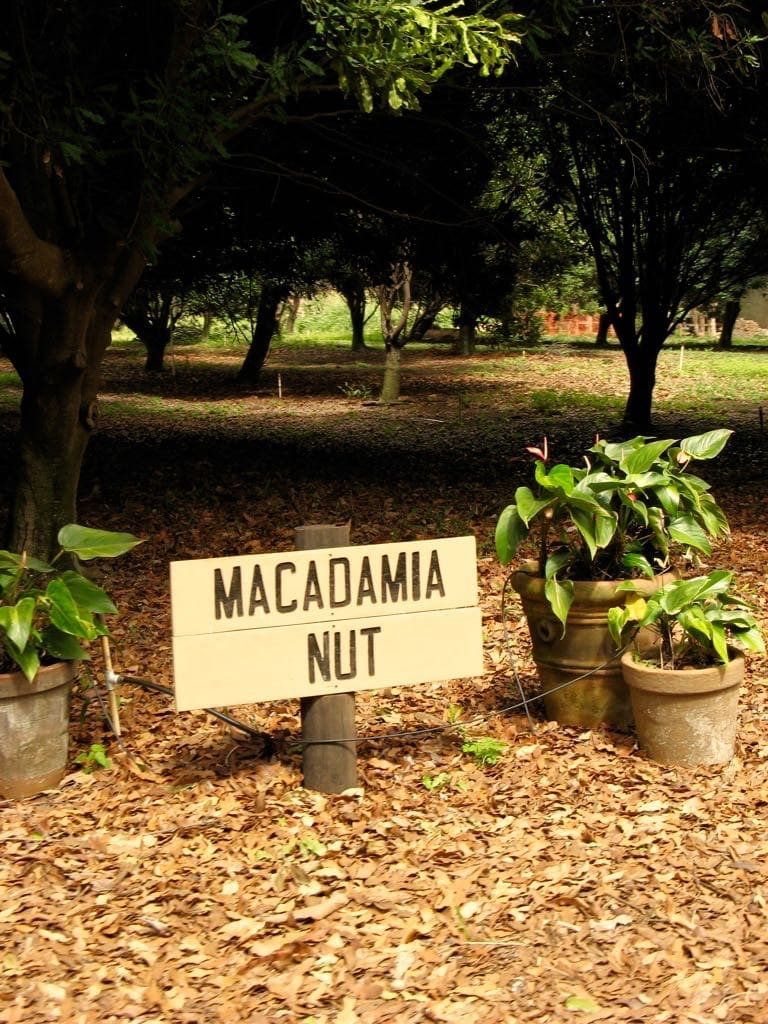 macadamia nut orchard, hawaii, big island