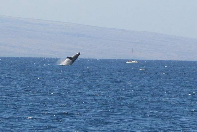 A Humpback breaches near the Big Island, Hawaii
