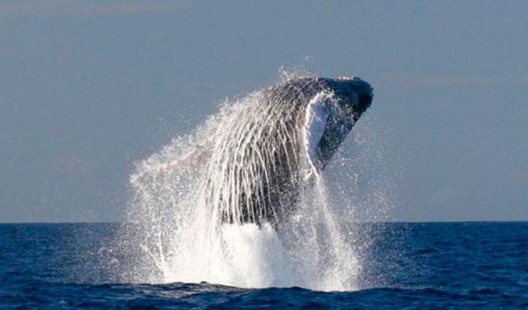 Breaching humpback whale on Hawaii