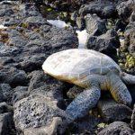 Green sea turtle (Honu in the Hawaiian language) on Punalu'u beach