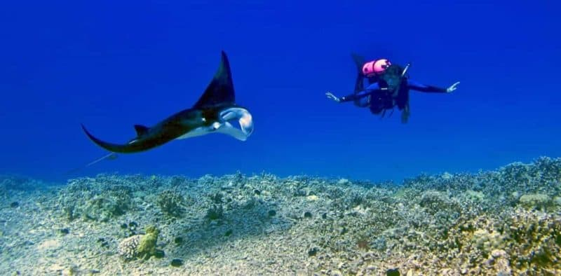 manta ray, dive, hawaii, big island