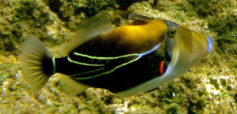 Humuhumunukunukuapuaa (reef trigger fish)