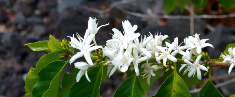 kona snow, coffee flower, hawaii