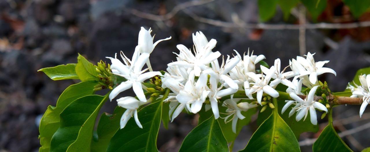 kona snow, coffee flower, hawaii