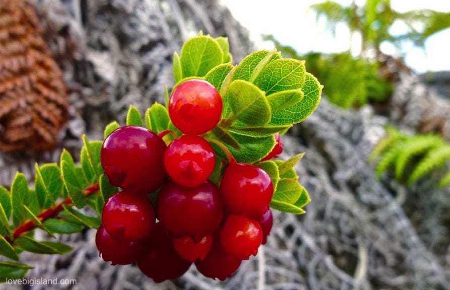 ohelo berries berry big island hawaii