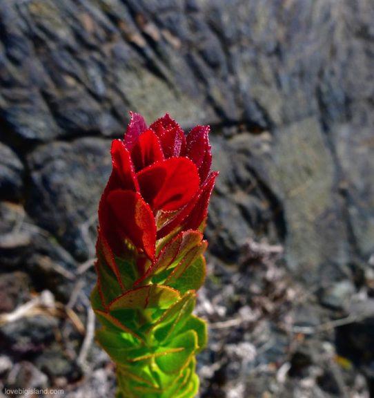 ohelo plant big island hawaii