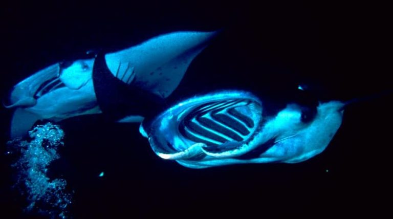 two manta rays feeding at night
