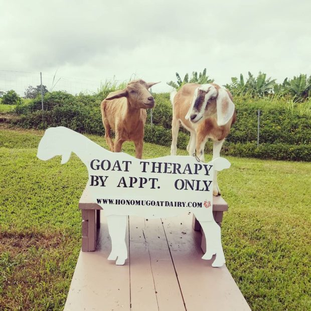 Goat therapy is currently by appointment only