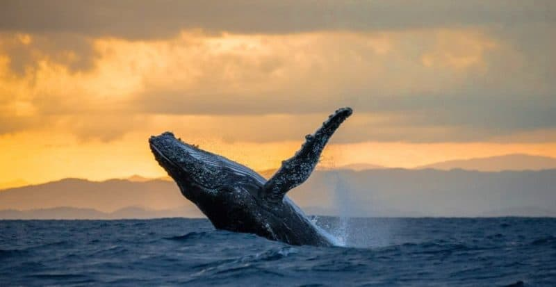 humpback whale breaches, whale watching, sunset