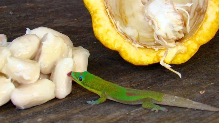 Gecko with cacao beans