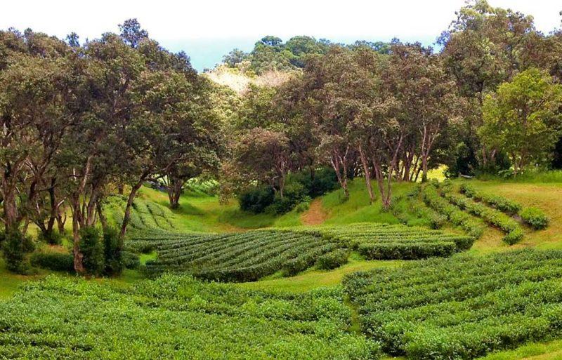 Mauna Kea tea field