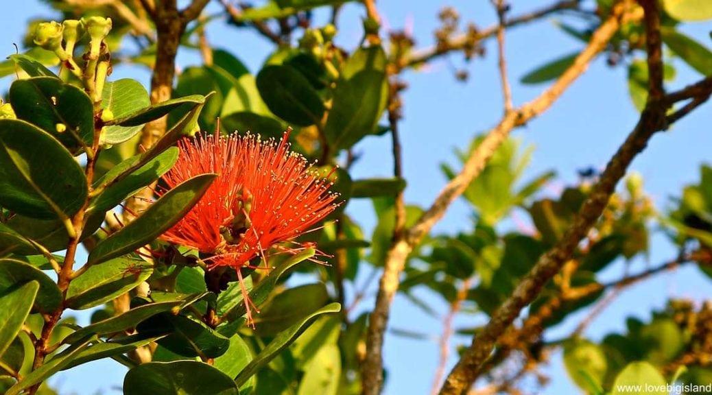 Red Ohia Lehua flower