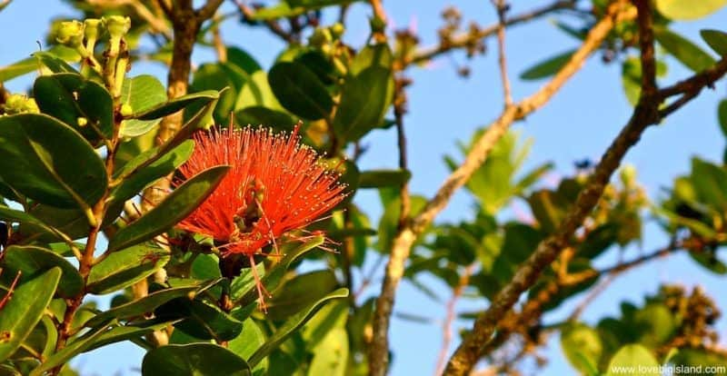 Red Lehua blossom of the Ohia tree