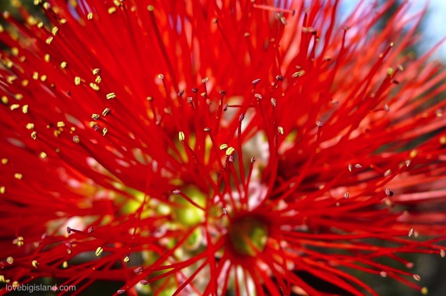 Red Lehua blossom of the Ohia tree in the Hawaii Volcanoes National Park