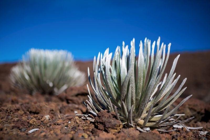 Close up of hinahina (silversword) plants