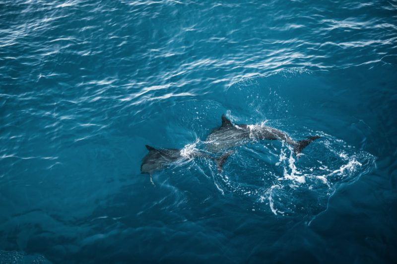 Spinner dolphins swimming off the Kona coast.