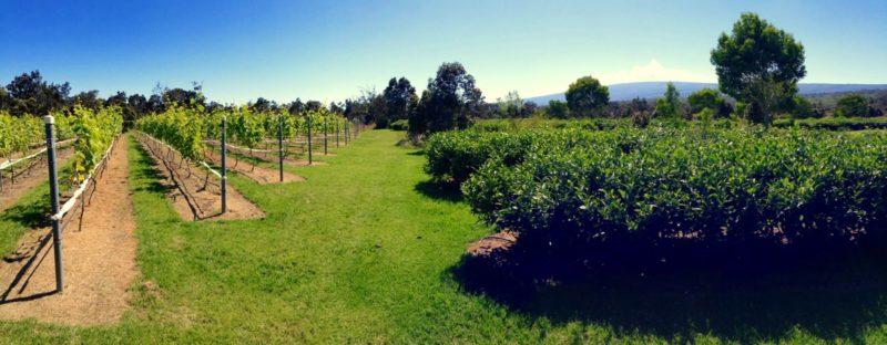 volcano winery, vineyard, mauna loa
