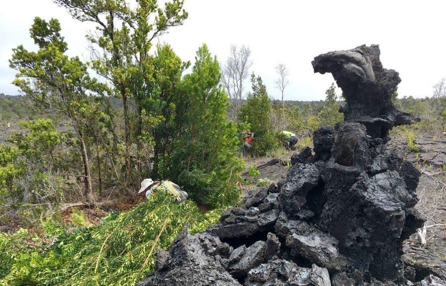 volunteer, hawaii, invasive species, big island